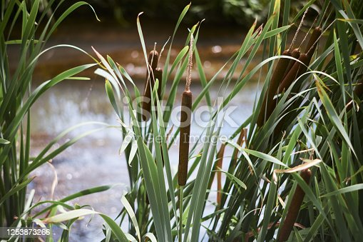 A close-up shot of a group of cattails at a river's edge during the summer season.