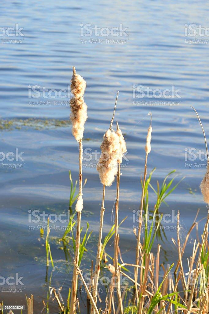 espadañas en el agua de fondo. foto de stock libre de derechos