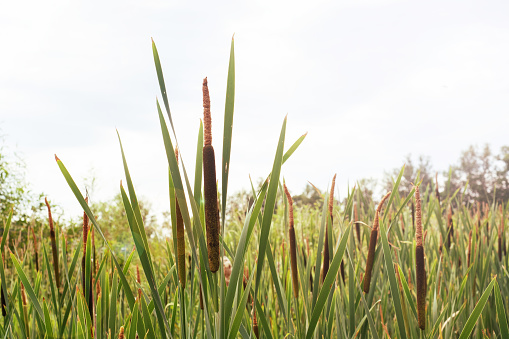 Cattails or reeds grow in swampy places.
