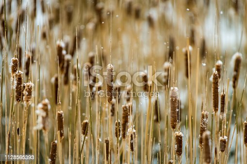Cattails in Padilla Bay, Washington state