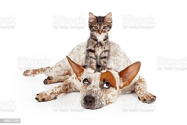Catte dog with kitten on his head picture id185812333?b=1&k=6&m=185812333&s=612x612&h=qf01bqdnd6ne mazcn7hcvksn u  h2fbwjvld2d0me=