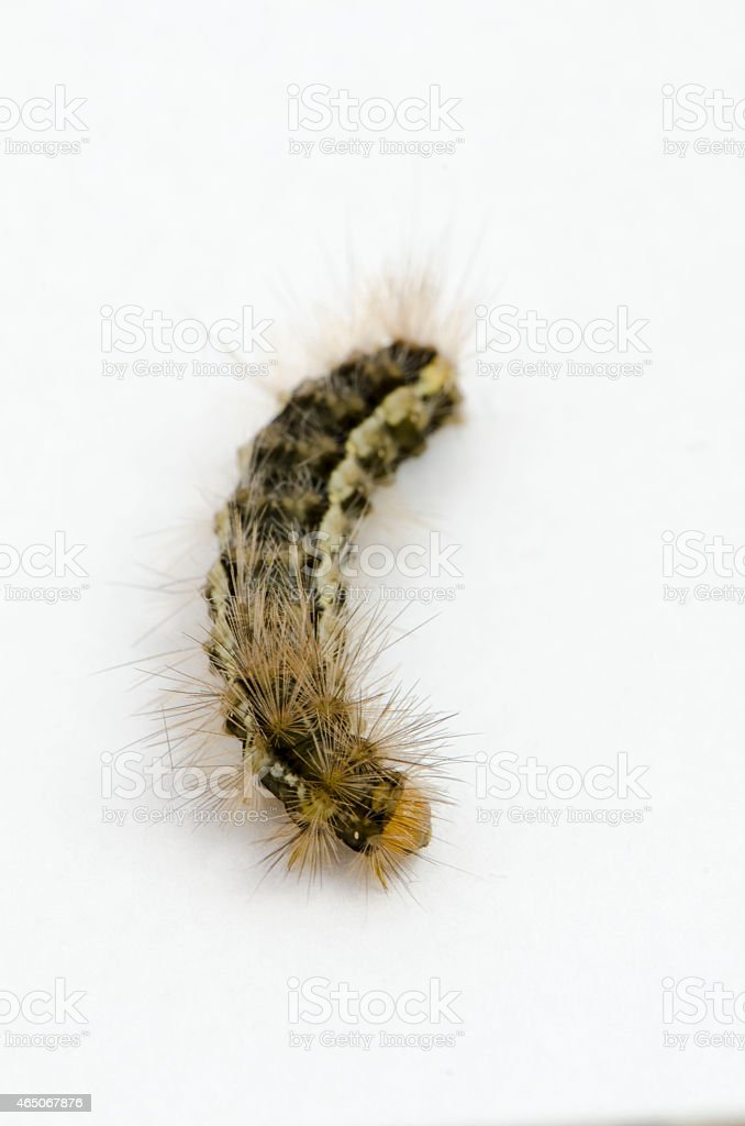 Catterpillar isolated stock photo