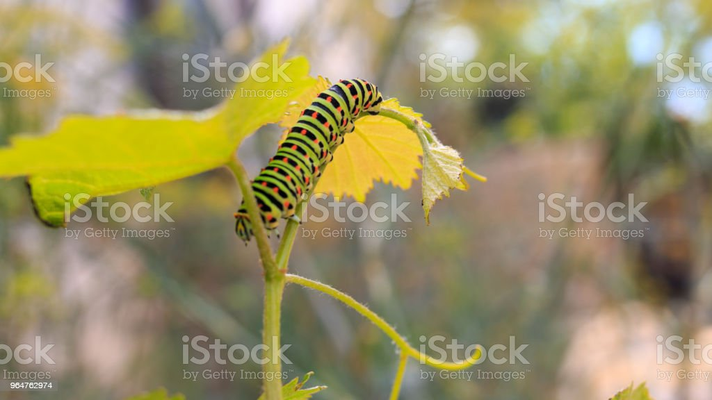 Catterpillar of Papilio machaon. Close up shot. royalty-free stock photo