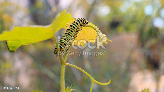 Green and black Catterpillar of Papilio machaon. Close up shot.