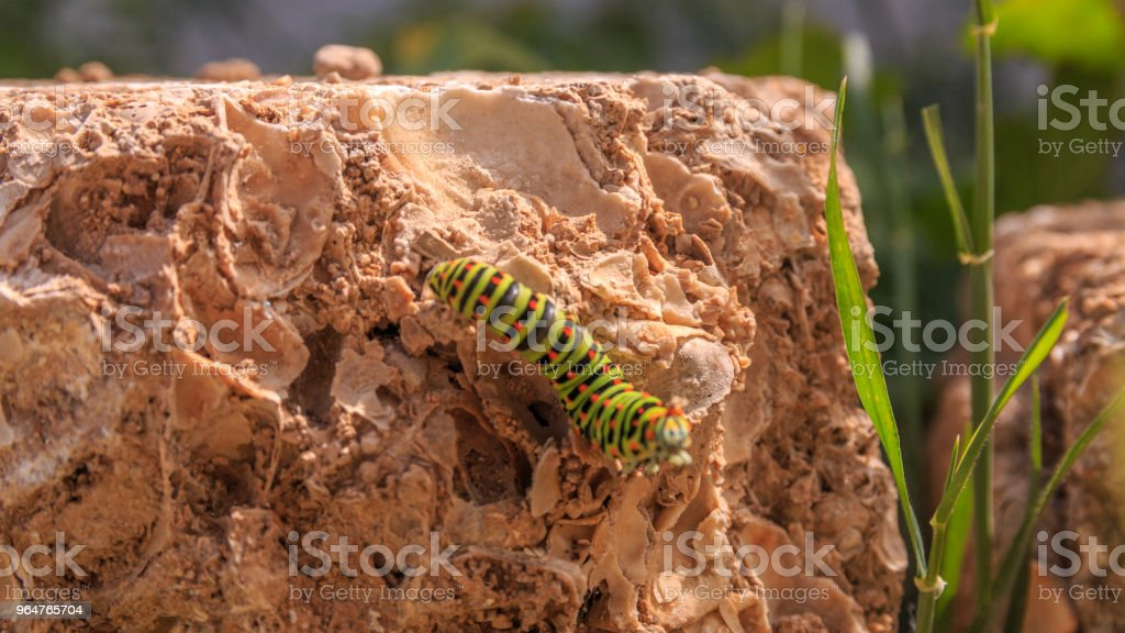 Catterpillar of Papilio machaon. Close up shot. royalty-free stock photo