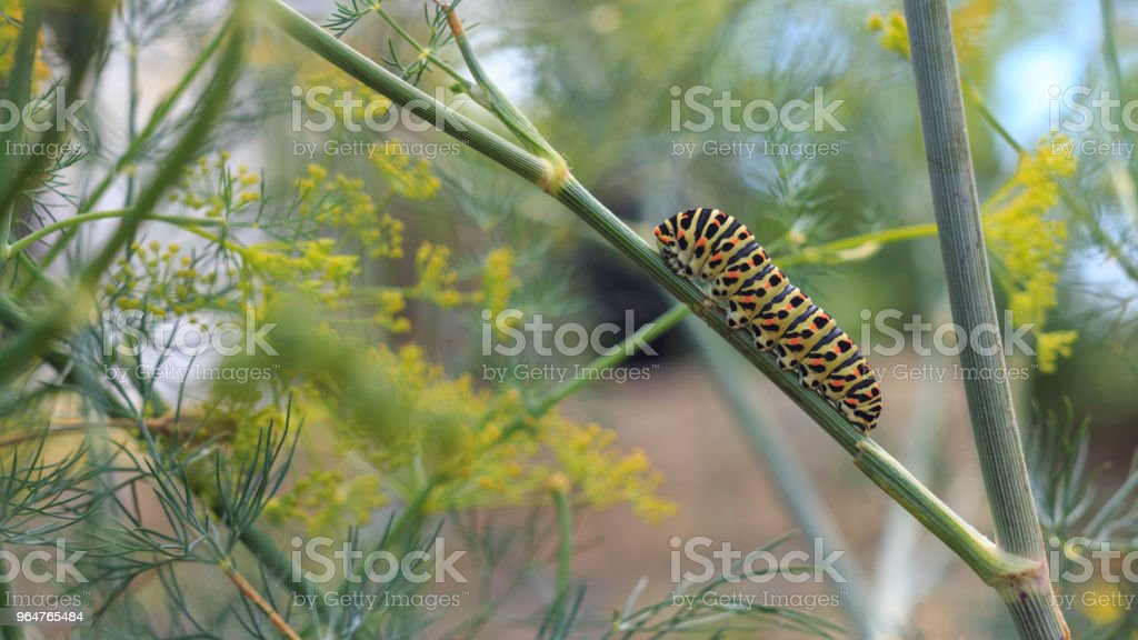 Catterpillar of Papilio machaon nearing its final days as a caterpillar. Crawling on a fennel. royalty-free stock photo