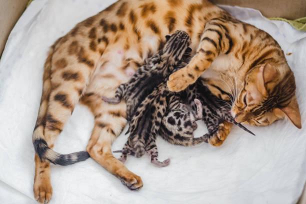 Cattery of bengalcats kitten picture id937026228?b=1&k=6&m=937026228&s=612x612&w=0&h=bmjcqgtayesquo6oe o0m ixmo3xqku iia kqgqzkm=