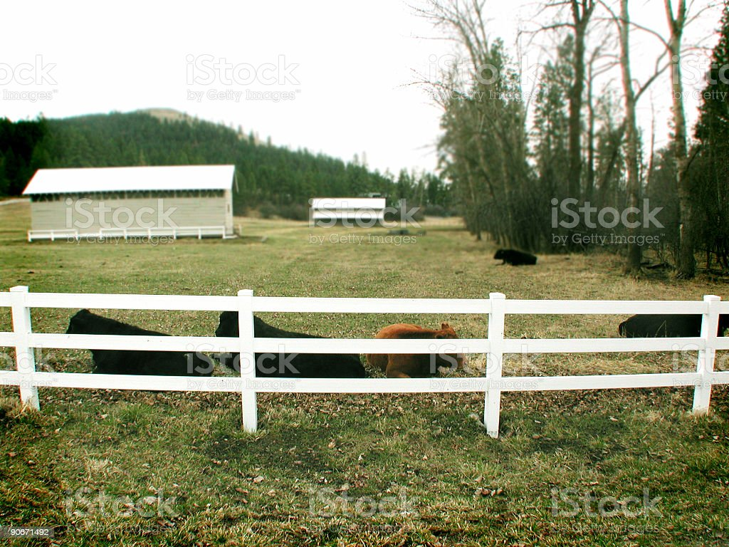 Cattle 1 royalty-free stock photo