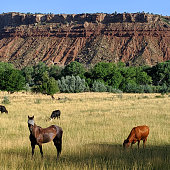 Cattle and horses grazing in summer pastures below Mt Kinesava in Zion National Park Utah
