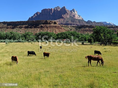 Cattle and horses in summer pastures below Mt Kinesava in Zion National Park Utah as seen from Rockville along Grafton Road