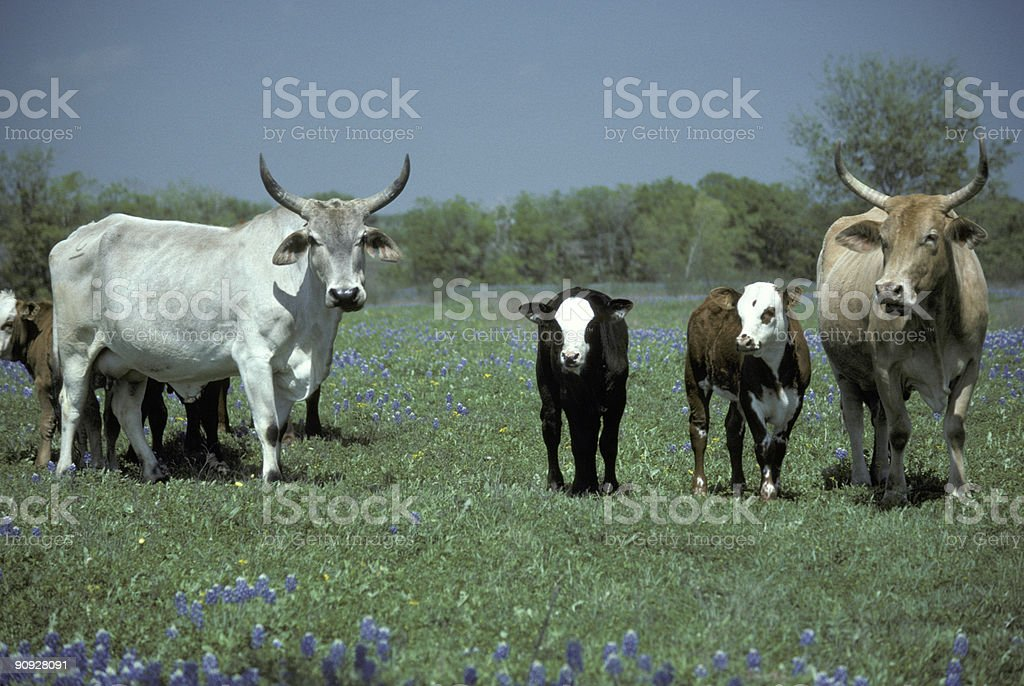 Cattle and Wild Flowers royalty-free stock photo