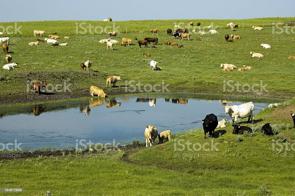 Cattle around dugout stock photo
