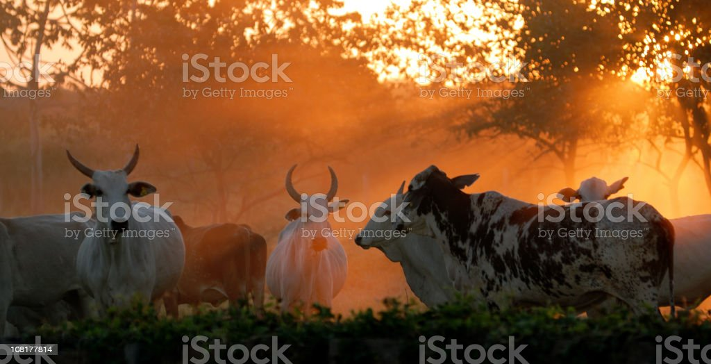 Cattle at Sunset stock photo