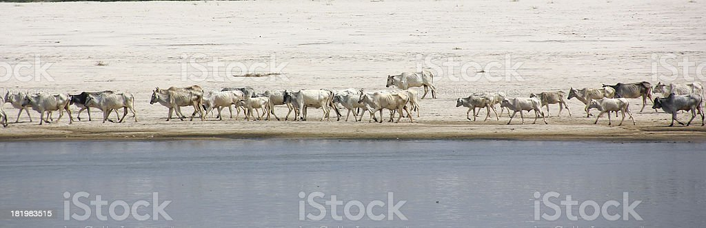cattle at the Irawaddi royalty-free stock photo
