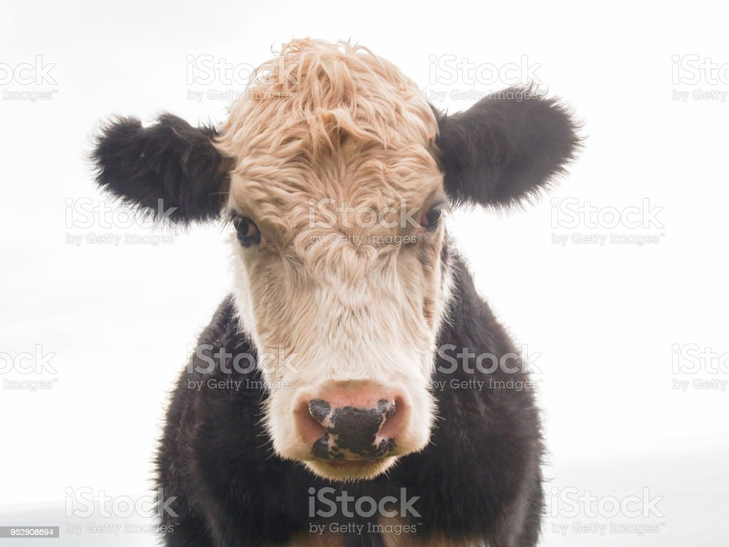 Cattle beast close-up stock photo