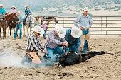 Cowboys branding together young bull in Utah. Cattle Branding - Livestock Branding. Real People. Utah, USA.