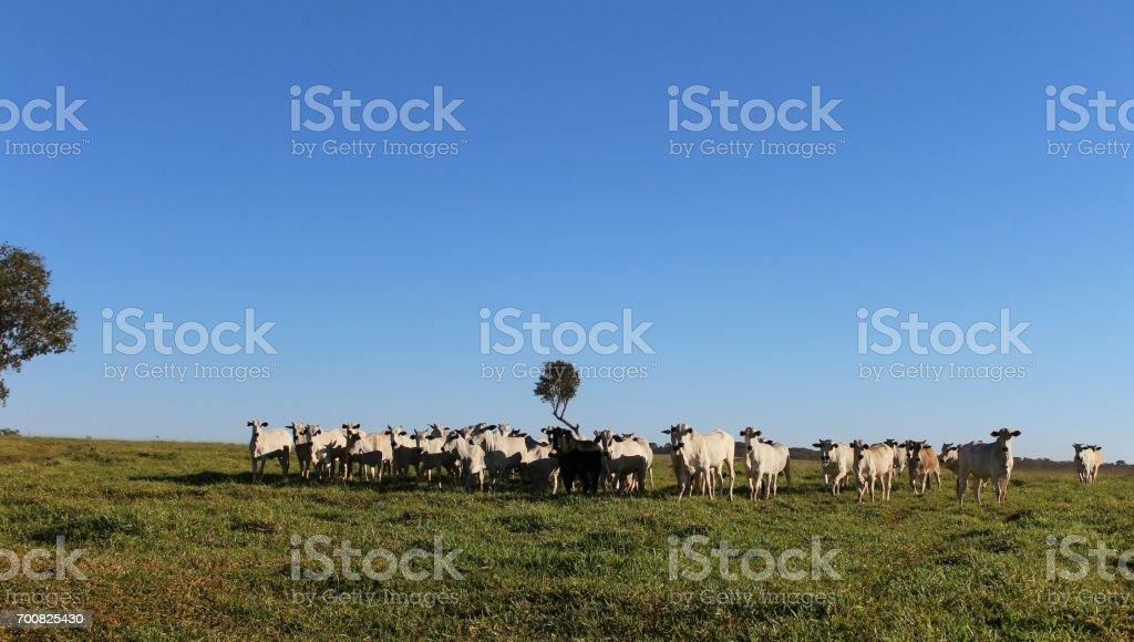Cattle breeding stock photo