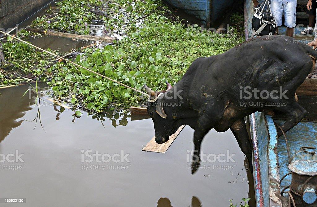 Cattle Disembarkment stock photo
