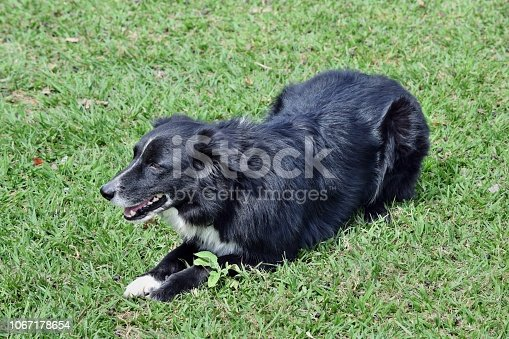 Cattle dog kelpie to protect sheep cattle on the grass in Australia