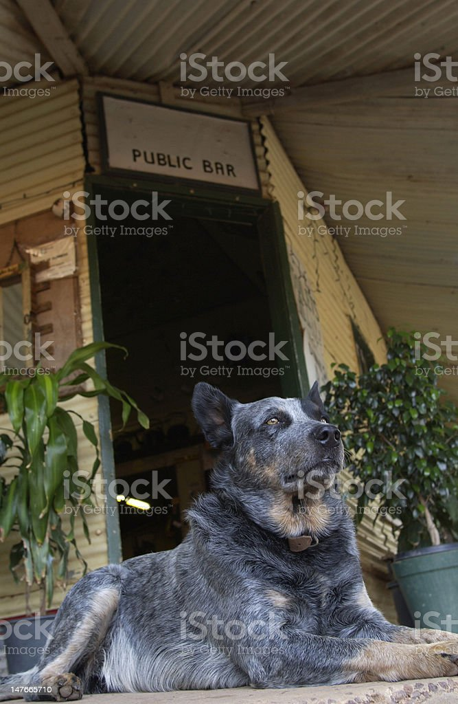 cattle dog stock photo