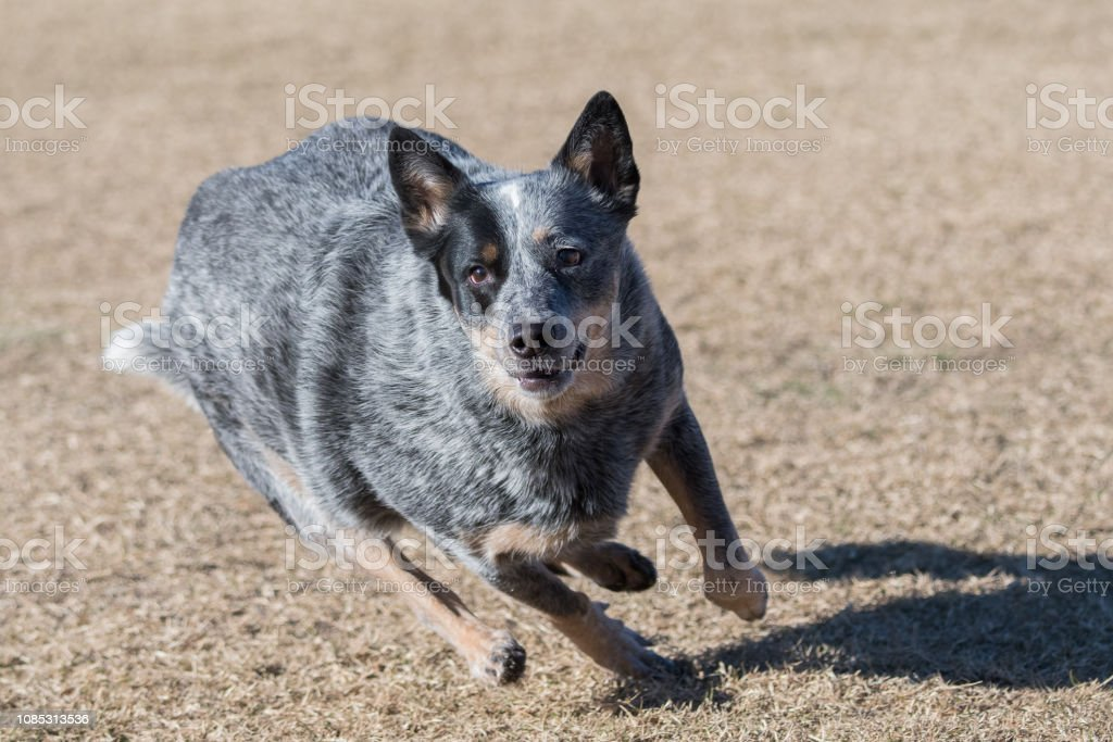 Cattle dog running in the field to catch a disc – zdjęcie