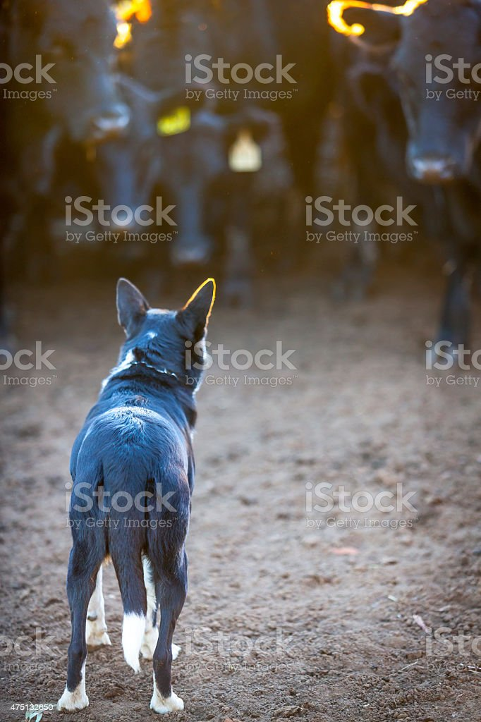 Cattle dog with cattle stock photo