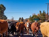 Cattle Drive on main road in Dolores near Cortez, Colorado, USA