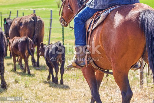Cowboy herding cattle on horseback at a ranch in Northern Colorado.