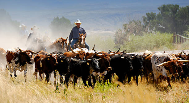 Cattle Drive Central Man Driving Cattle On Mountain Backdrop.  Three other cowboys/cowgirl obscured by trail dust. herding stock pictures, royalty-free photos & images
