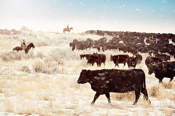 Cattle Drive Cows, Cowboys and desert.  Moving the herd to the winter feed lots.  Frosty crystallized flakes of snow blowing around in the air.  Sagebrush and a bizzilion Angus cows.   herding stock pictures, royalty-free photos & images