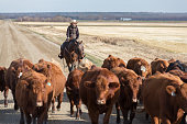 cattle drive down a dirt road