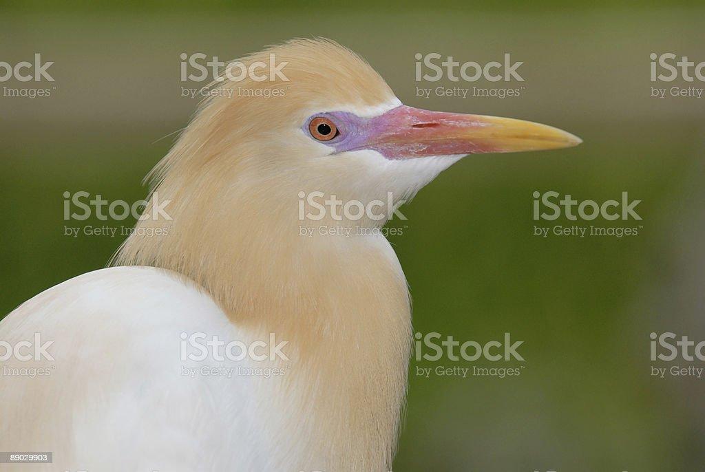 Kuhreiher Bird Lizenzfreies stock-foto