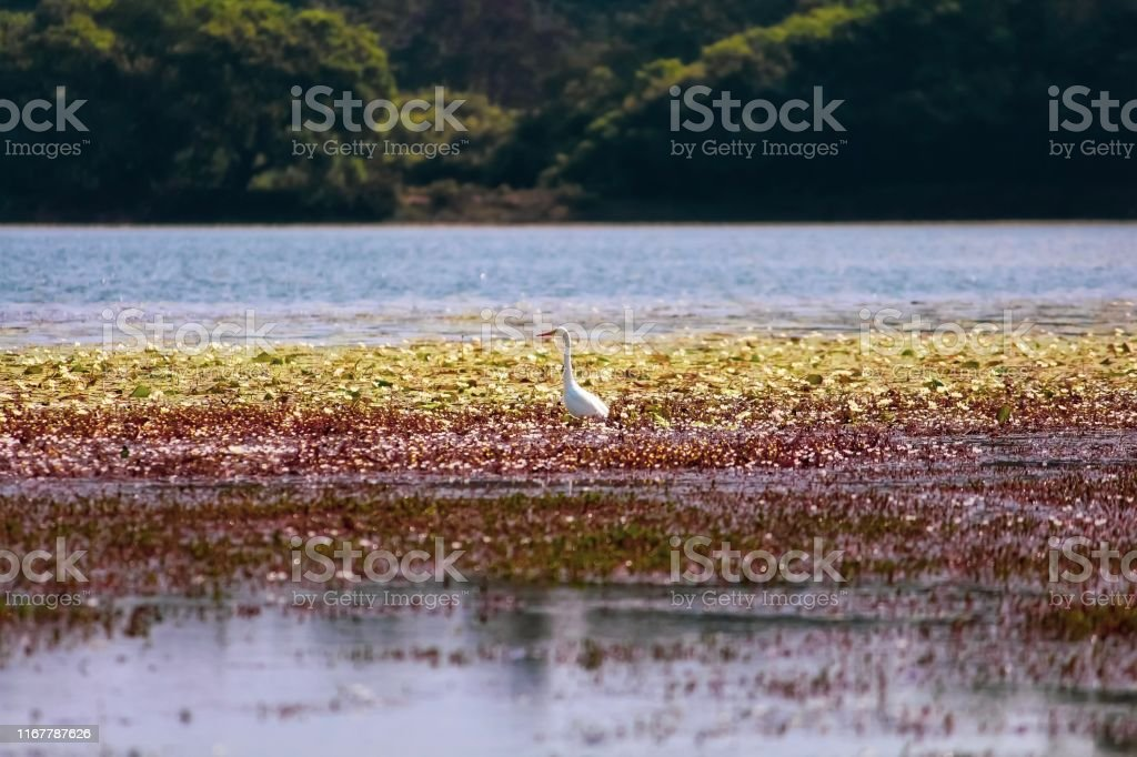 Cattle Egret crane bird in a lake