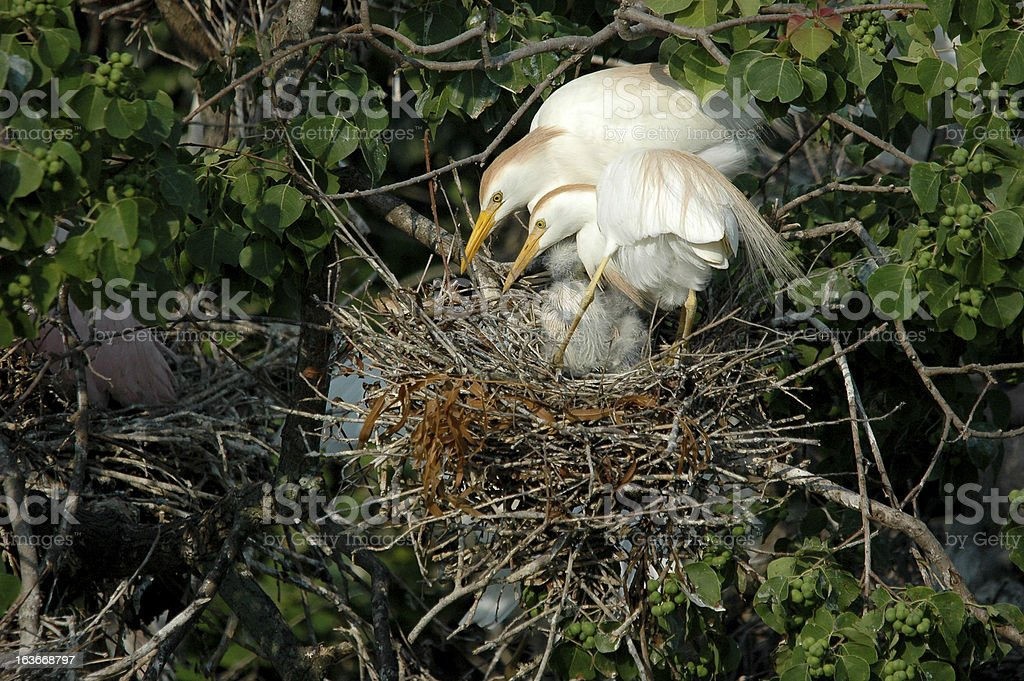 Cattle Egret Family royalty-free stock photo