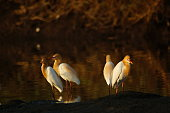 The cattle egret (Bubulcus ibis) is a cosmopolitan species of heron (family Ardeidae) found in the tropics, subtropics, and warm-temperate zones. It is the only member of the monotypic genus Bubulcus.
