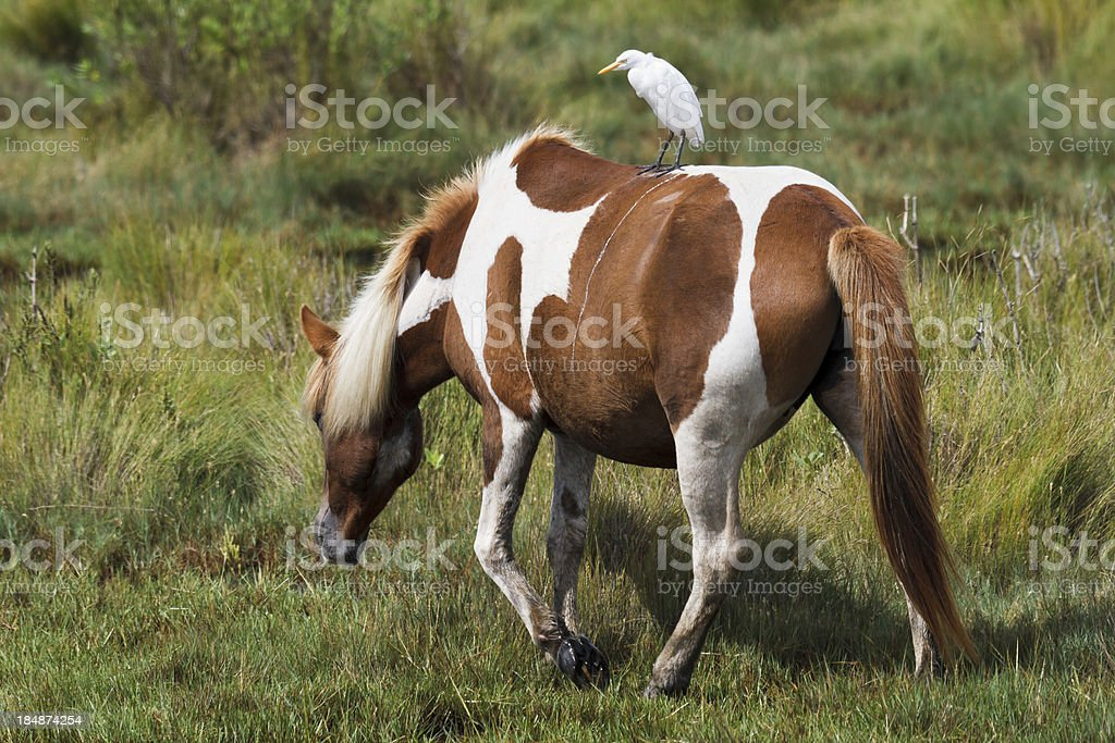 Cattle Egret Hitching a Ride on Chincoteague Pony stock photo