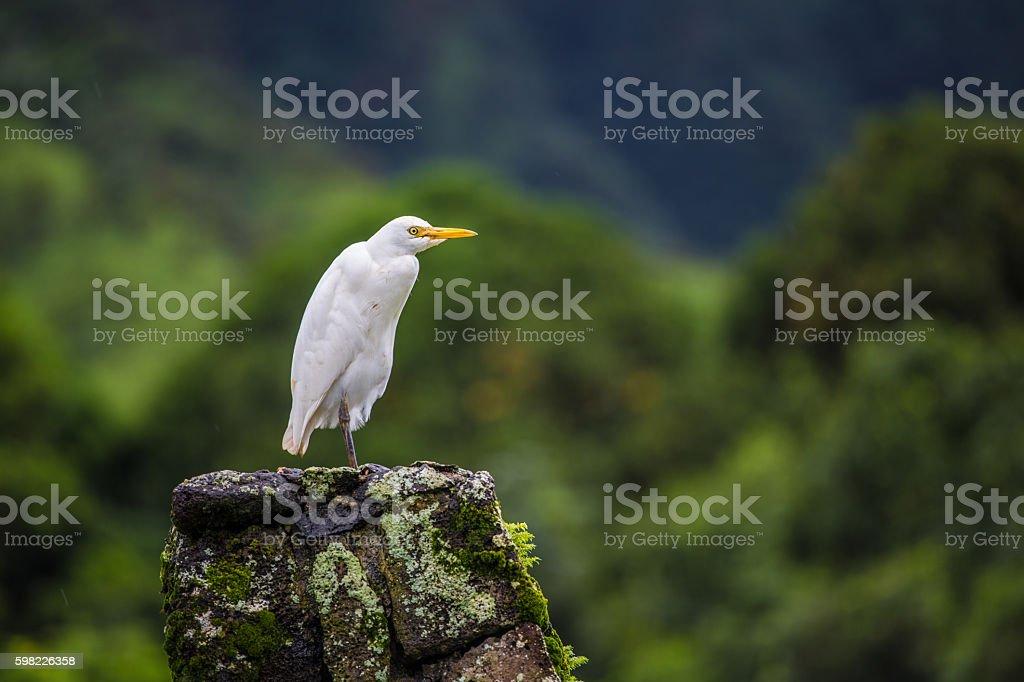 Cattle egret in Hawaii foto royalty-free