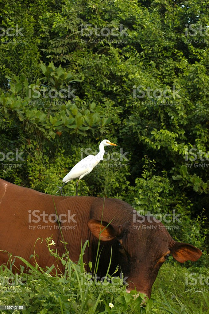 Cattle Egret, Jamaica royalty-free stock photo