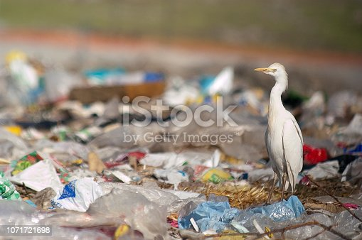 istock Cattle Egret (Bubulcus ibis) looking for food in the trash 1071721698