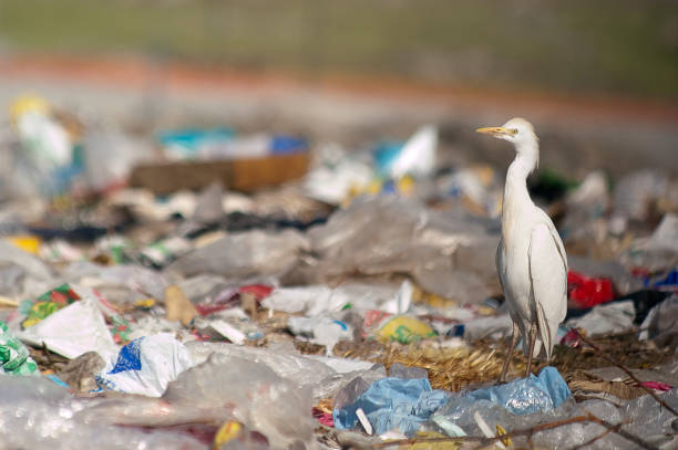 cattle egret (bubulcus ibis) looking for food in the trash - uccello marino foto e immagini stock