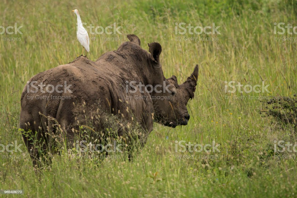 Cattle Egret on a Rhino royalty-free stock photo