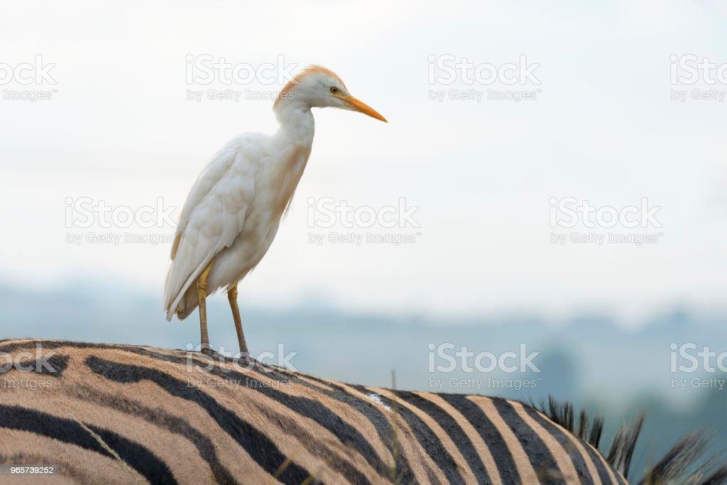 Koereiger op zebra - Royalty-free Afrika Stockfoto