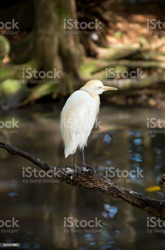 Cattle Egret Perched Above Water stock photo