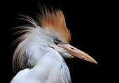 close-up of a cattle egret (Bubulcus ibis) on black background