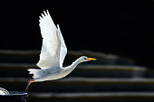 Cattle egret in Hawaii, USA