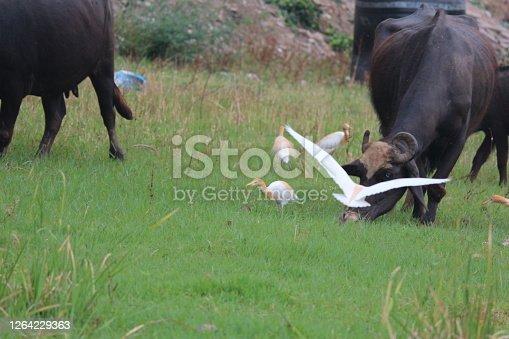 Cattle Egret in fields