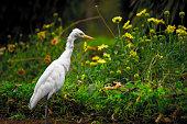 Portrait of Cattle Egret in its natural habitat