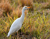 The cattle egret (Bubulcus ibis) is a cosmopolitan species of heron (family Ardeidae) found in the tropics, subtropics, and warm-temperate zones. Despite the similarities in plumage to the egrets of the genus Egretta, it is more closely related to the herons of Ardea. Originally native to parts of Asia, Africa, and Europe, it has undergone a rapid expansion in its distribution and successfully colonised much of the rest of the world in the last century.