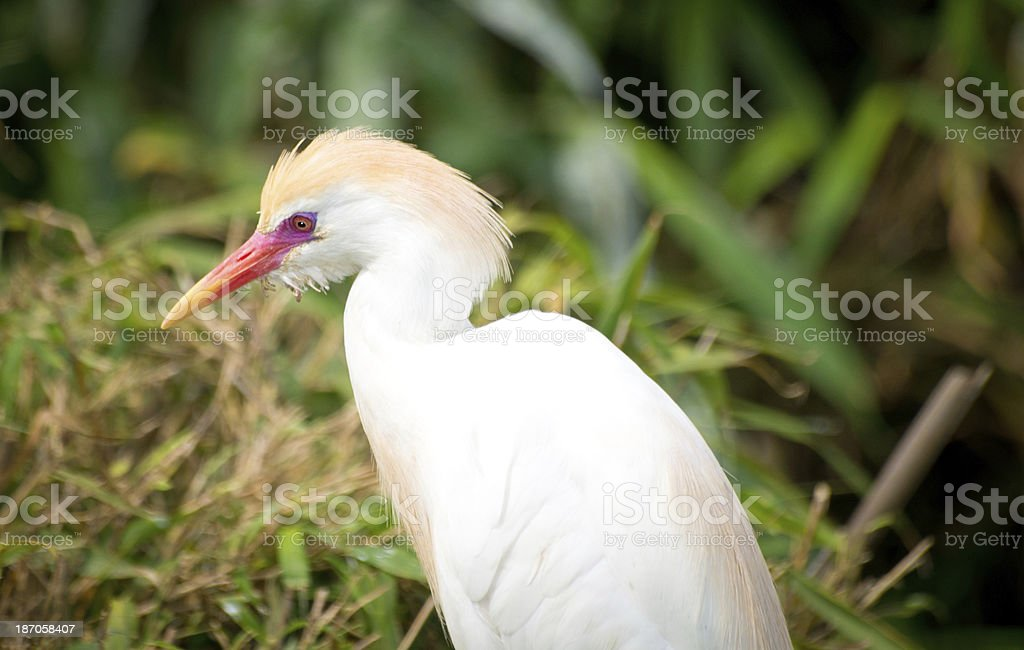 Cattle Egret royalty-free stock photo