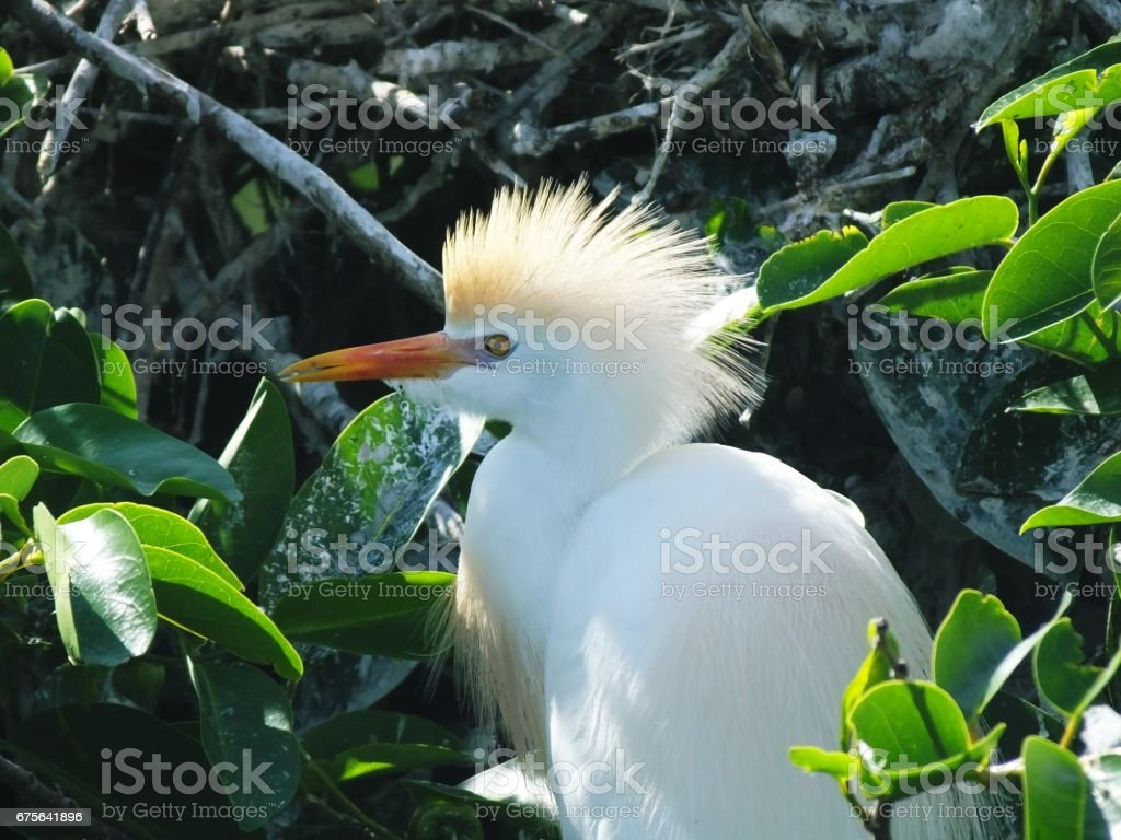 Cattle Egret (Bubulcus ibis) royalty-free stock photo